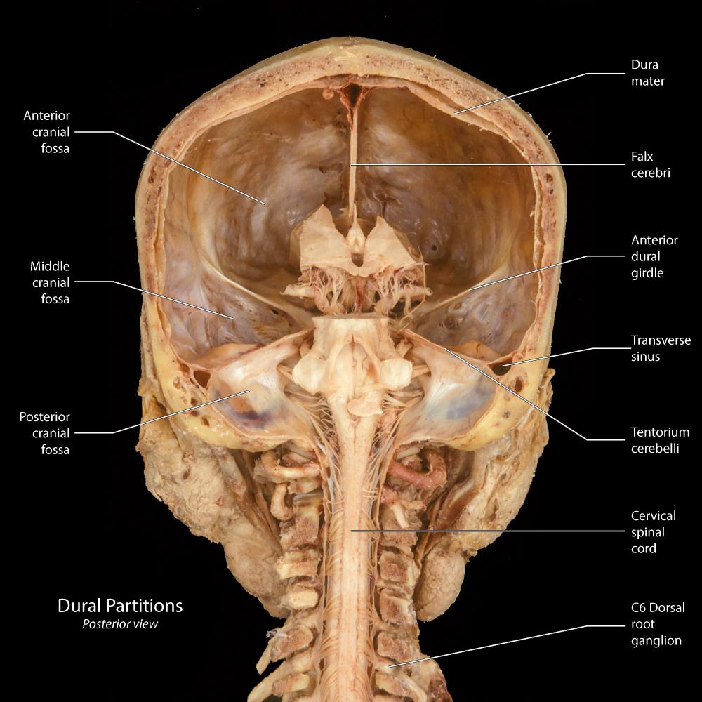 Beautiful Fossa Anatomy Embellishment Physiology Of Human Body