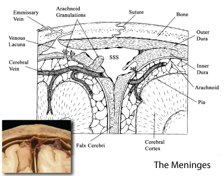meninges microarchitecture Diagram of Spleen