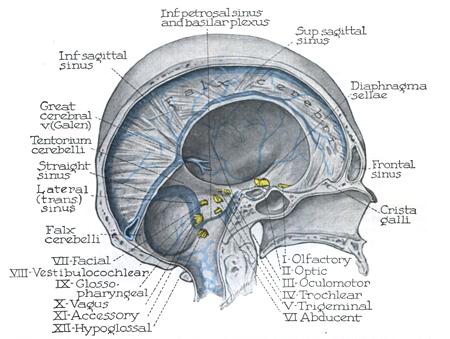 Dural Anatomy - Anatomy Drawing Diagram