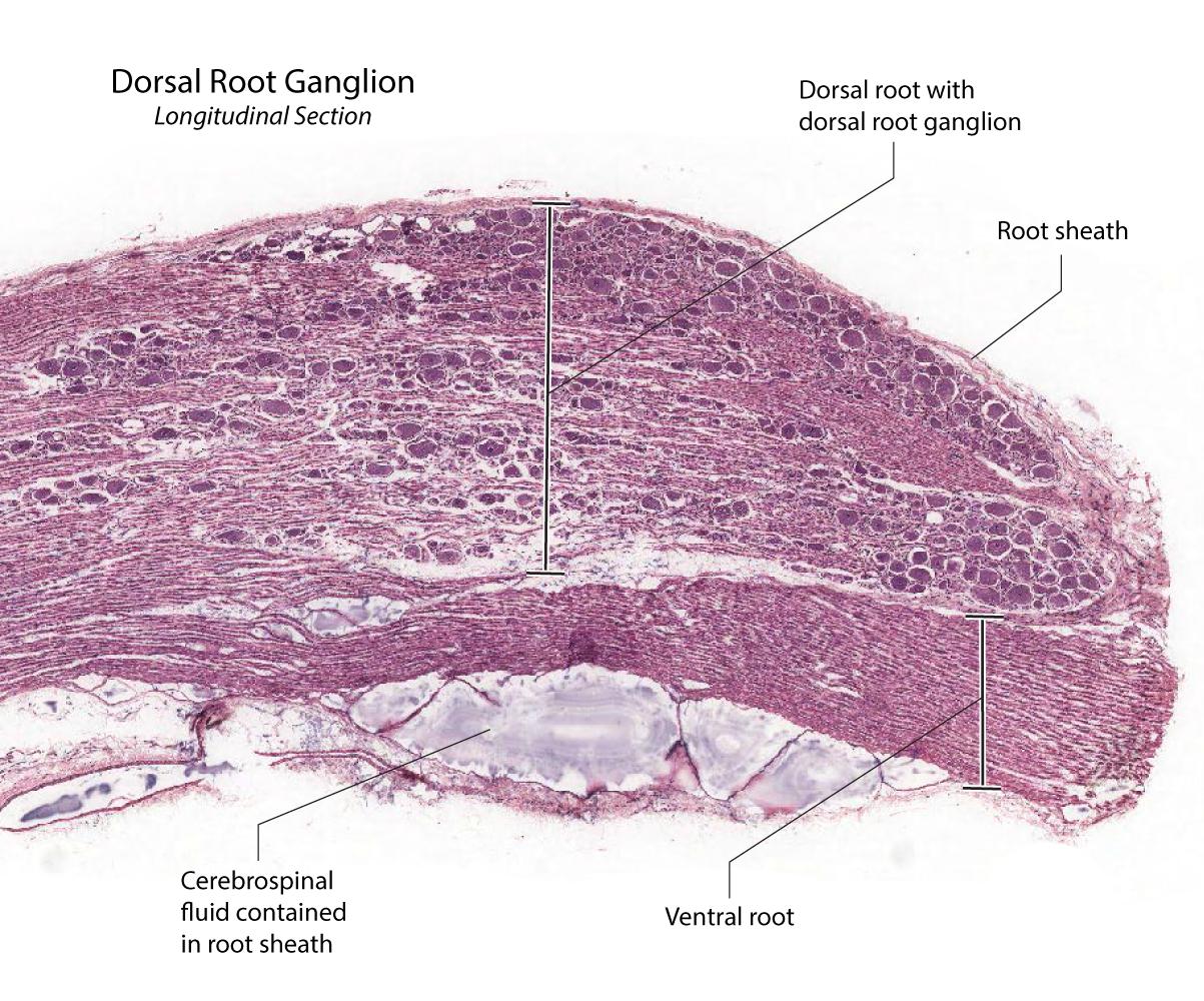 Peripheral Ganglia Microarchitecture
